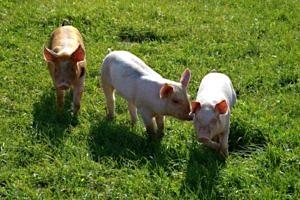 Ökologische Schweinezucht. Bild: YouTube